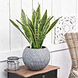 Sansevieria Laurentii Plant - Premium Evergreen Potted Indoor...