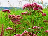 Common Valerian (Valeriana officinalis) 50 Seeds