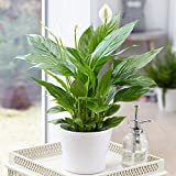 Spathiphyllum 'Peace Lily' Indoor Plants - 1 x Potted Lily House...