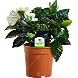 Gardenia Jasminoides - 1 Plant - House/Office Live Indoor Pot...