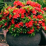 1 X RED Azalea Japanese Evergreen Shrub Hardy Garden Plant in...