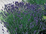 Pack x6 English Lavender Angustifolia 'Munstead' Perennial Garden...