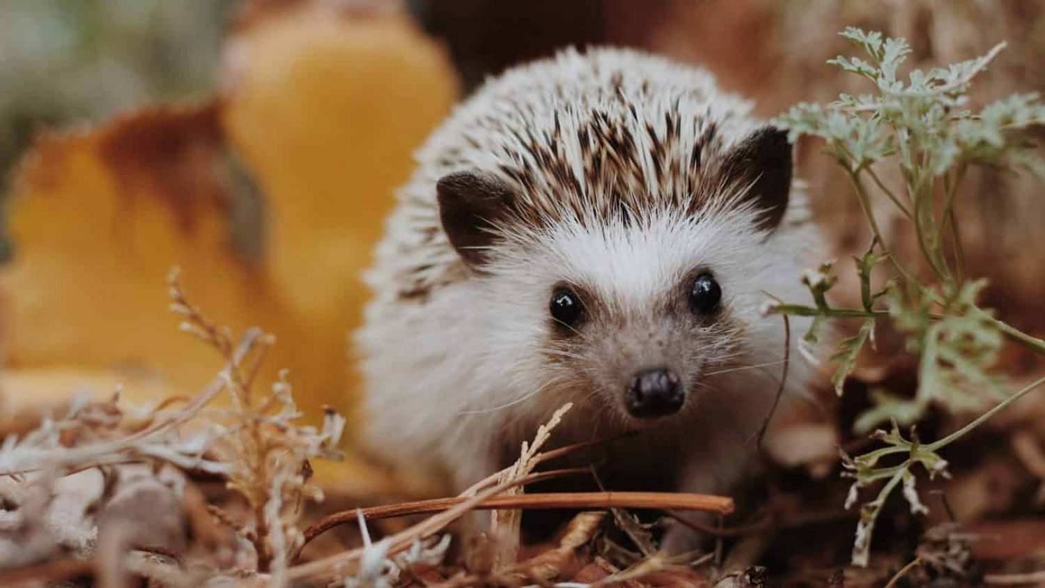 The Ultimate Guide to Hedgehogs – Learn More About This Very Exciting Creature