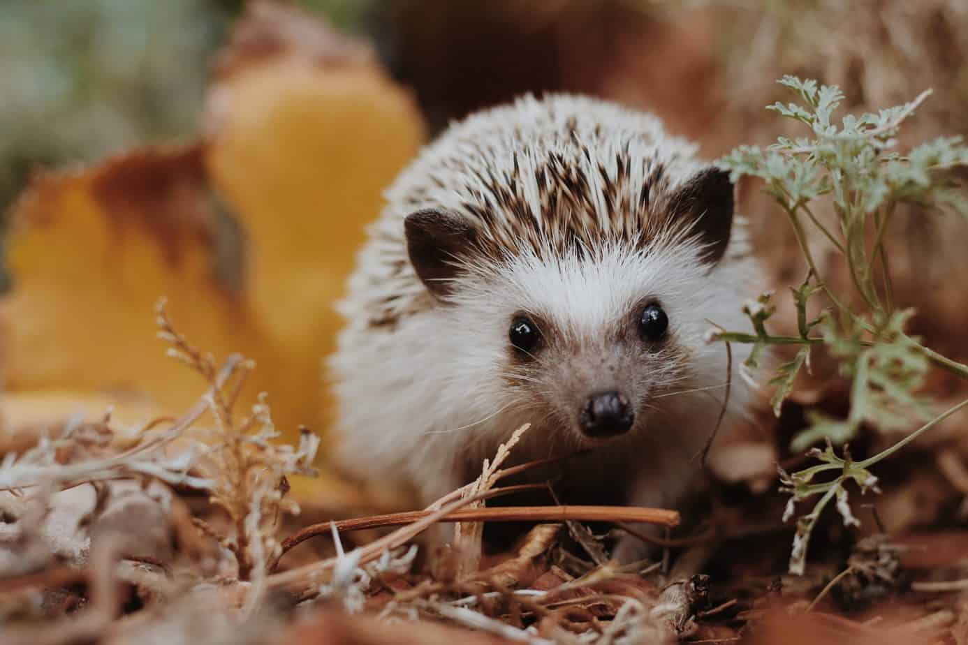 the ultimate guide to hedegehogs